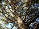 Pinie nad stromem v Baldarinu